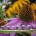 Echinacea Refraction by kvphoto