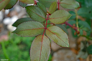 14th Jul 2021 - Rose leaf