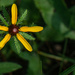 Tiny Black Eyed Susan... by thewatersphotos