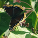 Mourning Cloak on the milkweed by ljmanning