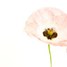 Poppy by phil_sandford