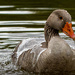 Water off a ducks back by stevejacob