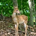 LHG-4192- fawn in the woods