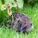 Hedgehog Visitor  by carole_sandford