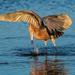 Reddish Egret Strikes