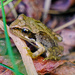A Common Frog by 365nick