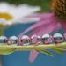 Echinacea Refraction #2