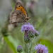 Thistle be a Meadow Brown.