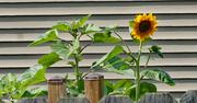 15th Jul 2021 - Sunflower peeking over the fence