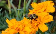 15th Jul 2021 - Buzzy bee