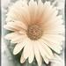 Soft Daisy by joysabin