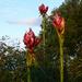 Budding Gymea Lilies