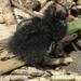 Baby moorhen