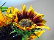 16th Jul 2021 - Sunflower, cont.