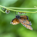 Monarch Invader by k9photo