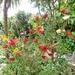 Bottle Brush plant.....