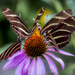 Echinacea Time Share