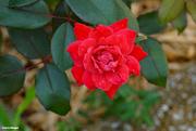 16th Jul 2021 - Summer rose