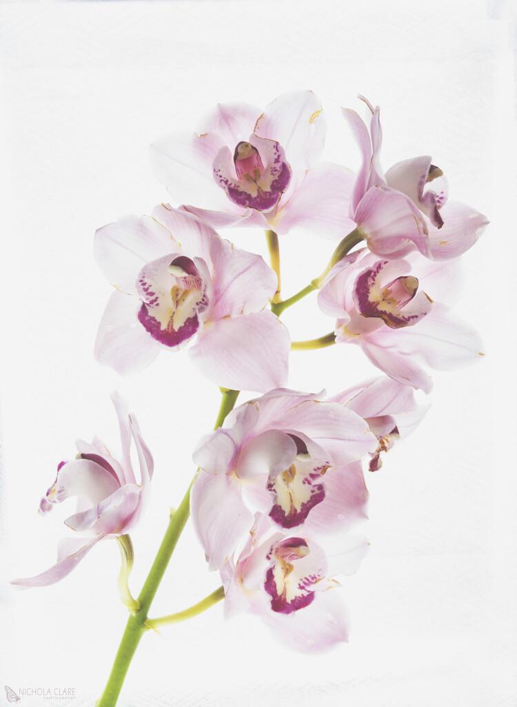 Orchid by nickspicsnz