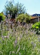 16th Jul 2021 - Lavender and sunshine