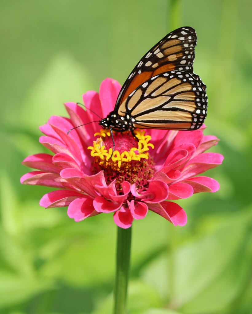 July 18: Monarch by daisymiller