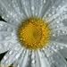 Dewy Daisy ..... Again by falcon11