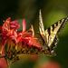 Swallowtail On Lucifer