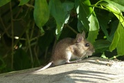 18th Jul 2021 - He waits for me to put the bird food out!