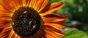 18th Jul 2021 - Sunflower visitors