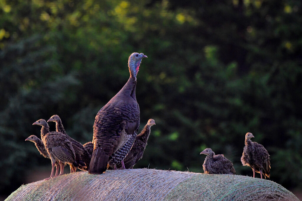 Mama and Babies on Haybale by kareenking