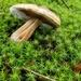 Leaning Tower of Mushroom