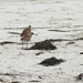 Curlews on the Beach