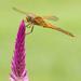 Dragonfly sitting pretty  by dutchothotmailcom