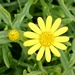 A Tiny Yellow Daisy P7191056