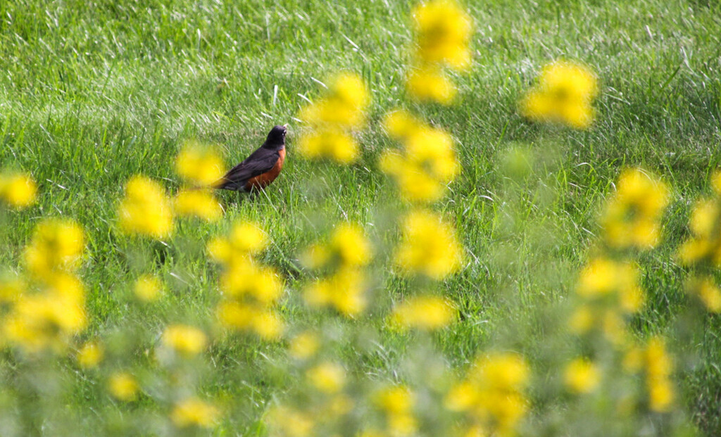 I see a robin through the flowers by mittens