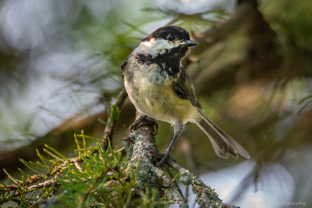 Black Capped Chickadee Paid Me a Visit by taffy