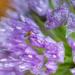 Allium Visitor