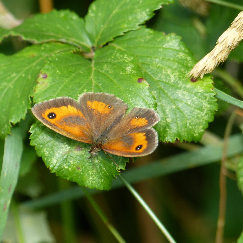 Gatekeeper Butterfly  by foxes37