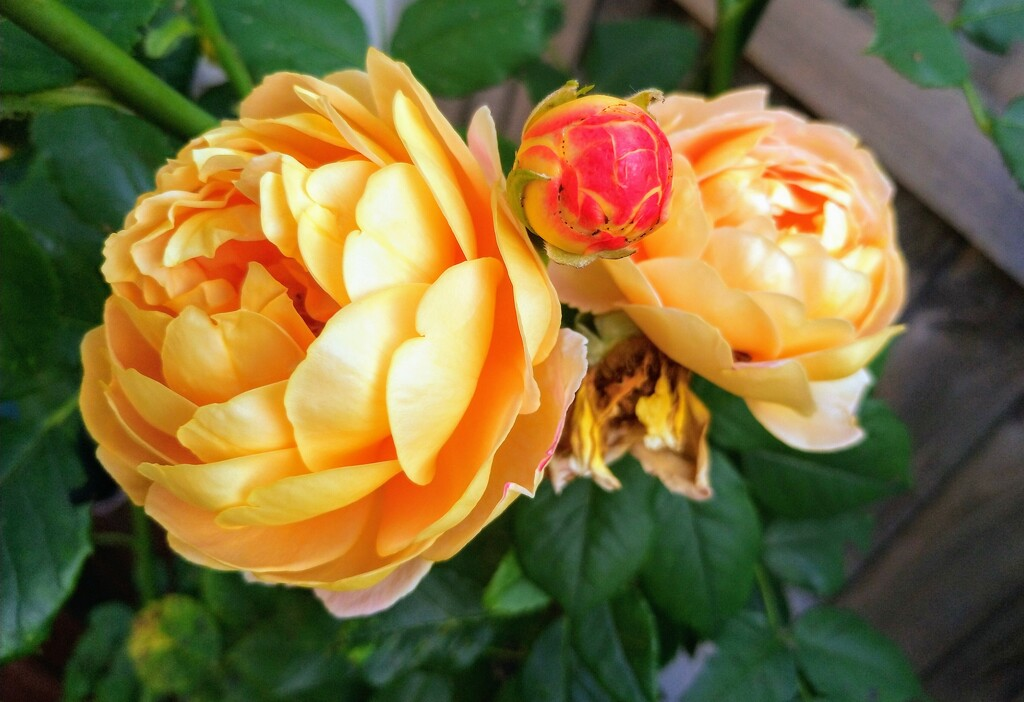 Yellow roses by boxplayer