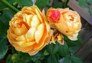 19th Jul 2021 - Yellow roses
