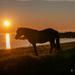 Horse in the midnight sun