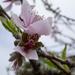 blood plum blossom