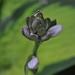 Hosta bloom beginnings.........