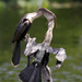 Anhinga teenager coming over for dinner  by dutchothotmailcom