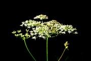 20th Jul 2021 - Flowerhead