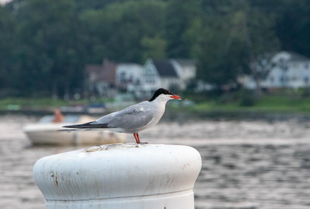 Common Tern by cm_saratoga