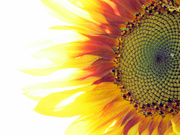 20th Jul 2021 - High-Key Sunflower
