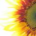 High-Key Sunflower by seattlite