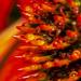 Echinacea Refraction