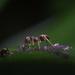 Ants Tending Their Herd